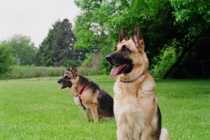 Guard-Dogs-Wallpapers-2